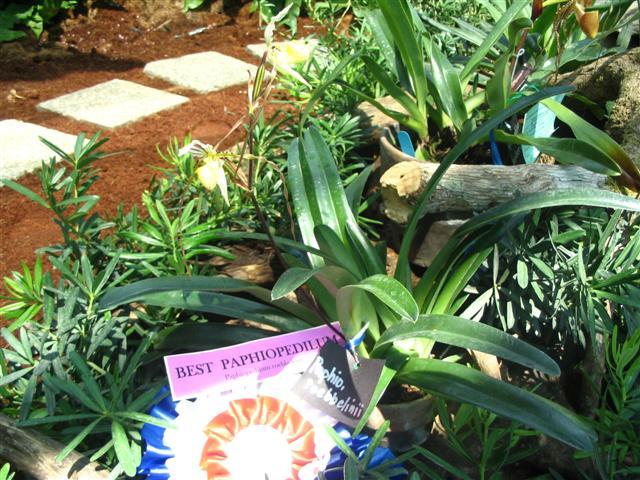 Name:  Paphiopedilum Roebbelenii1 (Small).jpg Views: 2931 Size:  88.5 KB