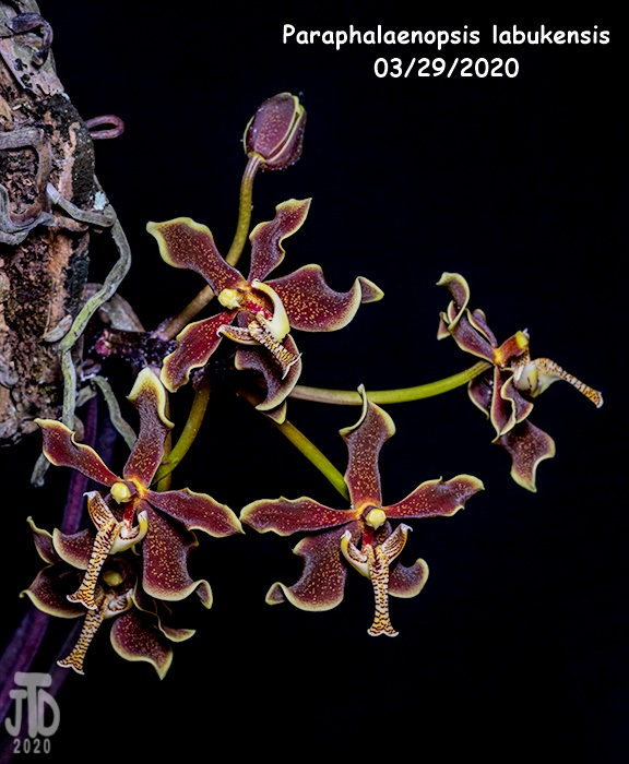 Name:  Paraphalaenopsis labukensis3 03282020.jpg Views: 59 Size:  154.8 KB
