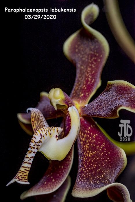 Name:  Paraphalaenopsis labukensis4 03282020.jpg Views: 59 Size:  138.0 KB