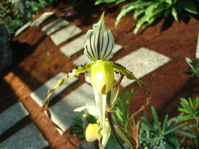Name:  Paphiopedilum Roebbelenii3 (Small).jpg Views: 2853 Size:  50.0 KB