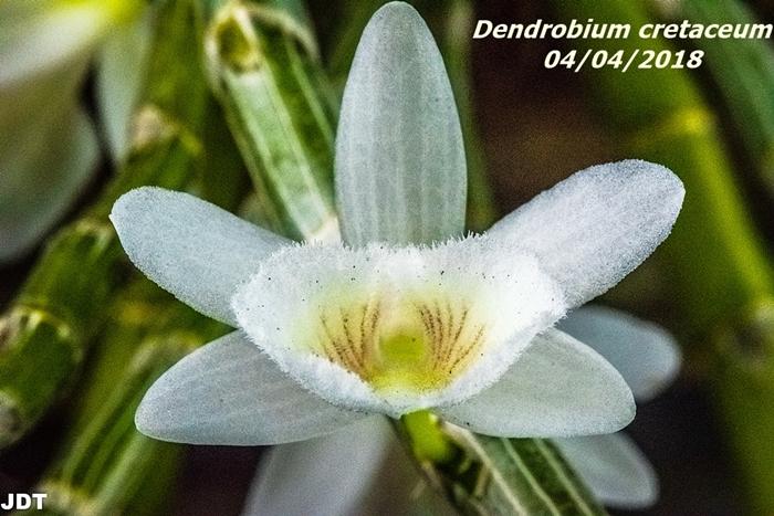 Name:  Dendrobium cretaceum1 100mm 040418.jpg Views: 133 Size:  298.3 KB