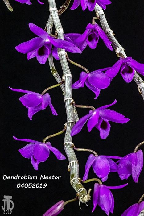 Name:  Dendrobium Nestor3 04042019.jpg Views: 114 Size:  307.4 KB