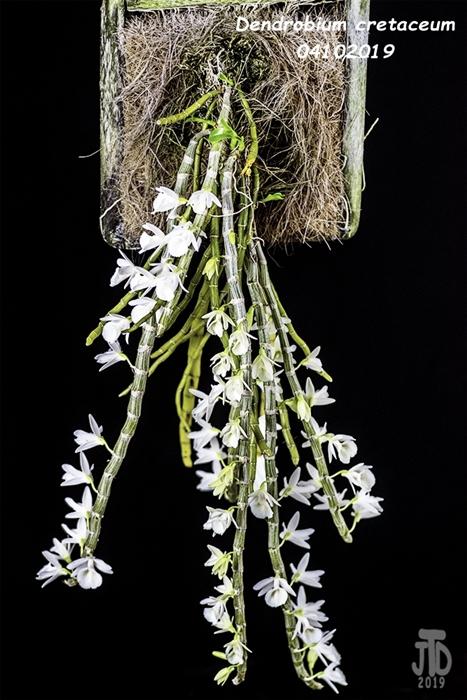 Name:  Dendrobium cretaceum2 04102019.jpg Views: 109 Size:  271.3 KB