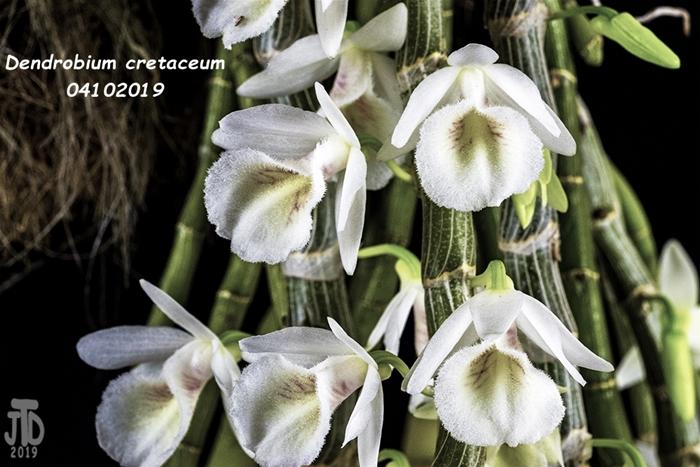 Name:  Dendrobium cretaceum4 04102019.jpg Views: 101 Size:  270.3 KB