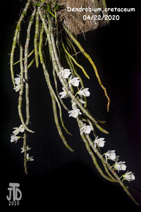 Name:  Dendrobium cretaceum1 04192020.jpg Views: 117 Size:  164.1 KB