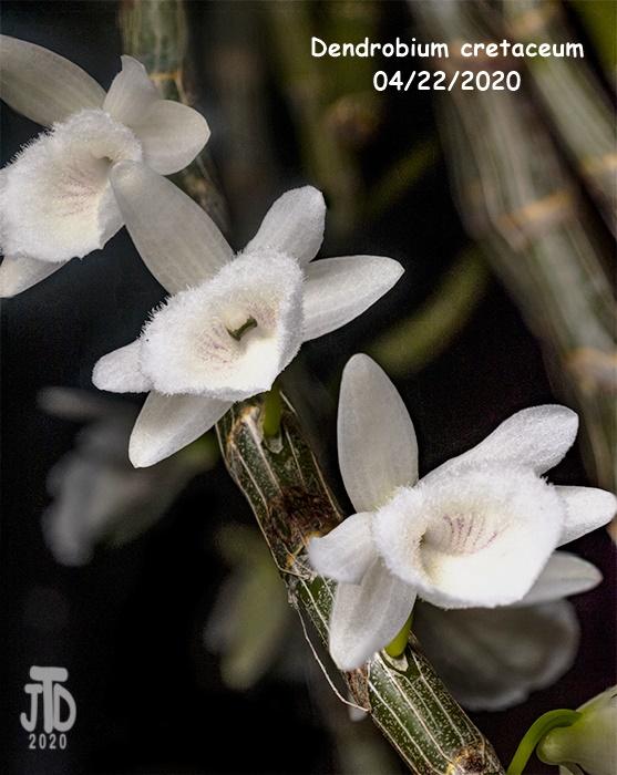 Name:  Dendrobium cretaceum2 04192020.jpg Views: 116 Size:  152.2 KB