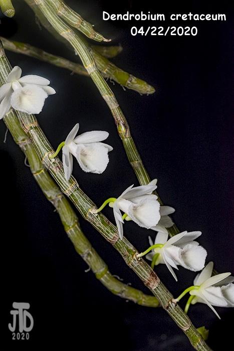 Name:  Dendrobium cretaceum4 04192020.jpg Views: 121 Size:  153.6 KB