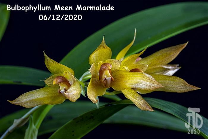 Name:  Bulbophyllum Meen Marmalade5 06122020.jpg Views: 68 Size:  102.5 KB