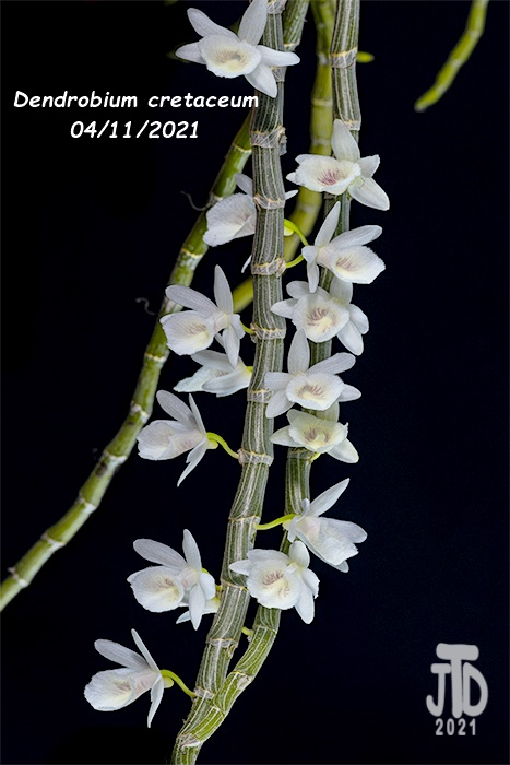 Name:  Dendrobium cretaceum3 04112021.jpg Views: 77 Size:  152.0 KB