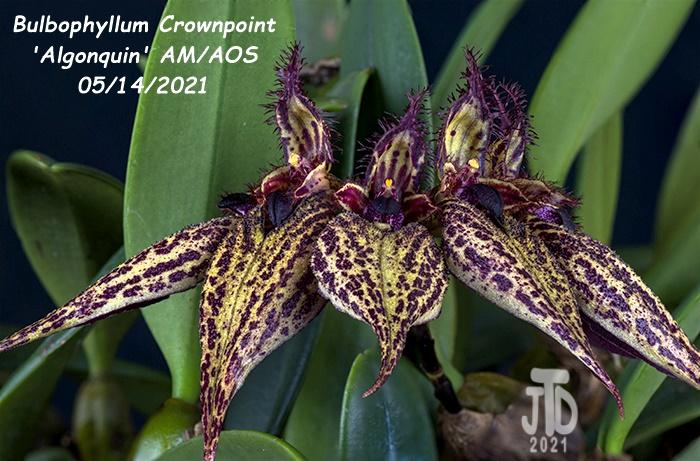 Name:  Bulbophyllum Crownpoint 'Algonquin' AM-AOS1 05152021.jpg Views: 52 Size:  170.4 KB