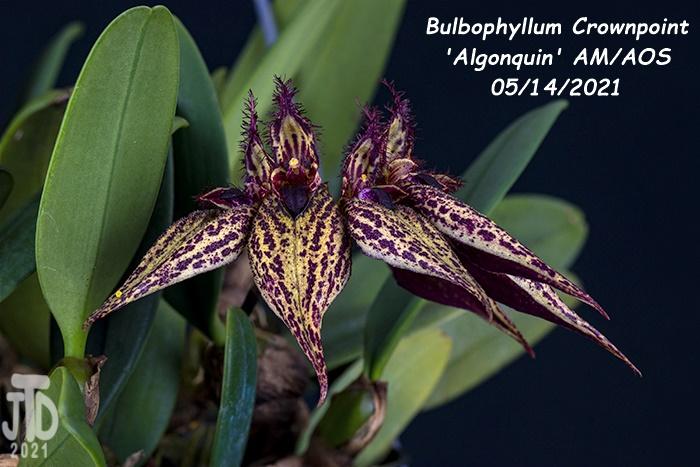 Name:  Bulbophyllum Crownpoint 'Algonquin' AM-AOS2 05152021.jpg Views: 47 Size:  138.1 KB
