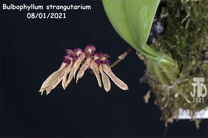 Name:  Bulbophyllum strangutarium2 08012021.jpg Views: 43 Size:  98.6 KB