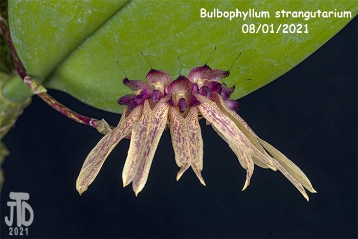 Name:  Bulbophyllum strangutarium1 08012021.jpg Views: 43 Size:  153.3 KB