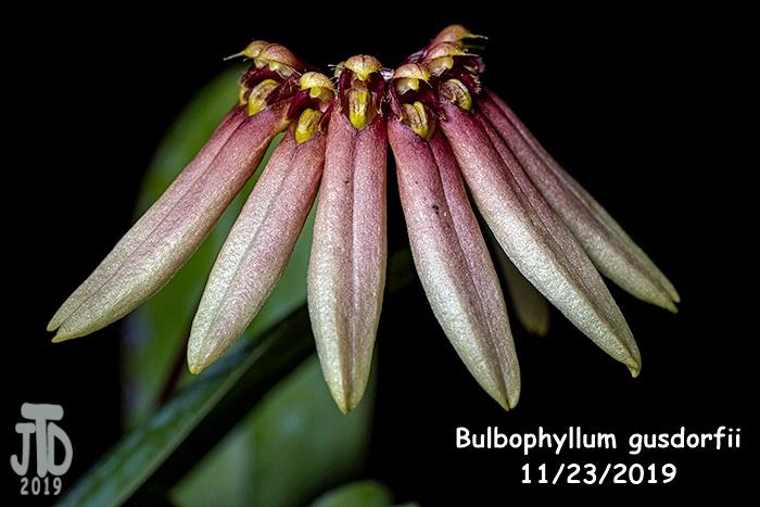 Name:  Bulbophyllum gusdorfii2 11222019.jpg Views: 47 Size:  115.9 KB