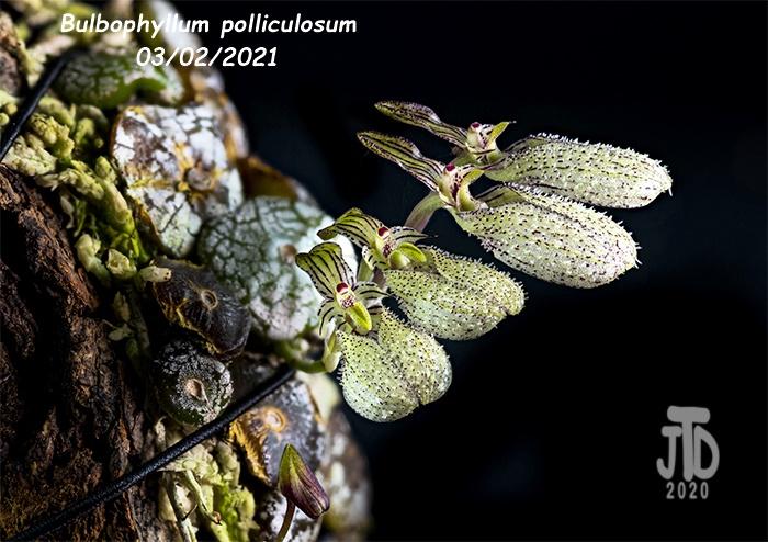 Name:  Bulbophyllum polliculosum2 03022021.jpg Views: 58 Size:  191.9 KB