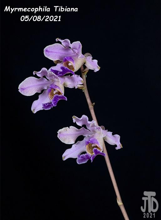 Name:  Myrmechophila Tibiana2 05072021.jpg Views: 57 Size:  83.1 KB
