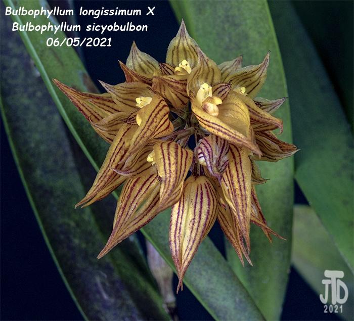 Name:  Bulbophyllum longissimum X Bulb. sicyobulbon5 06052021.jpg Views: 47 Size:  202.3 KB