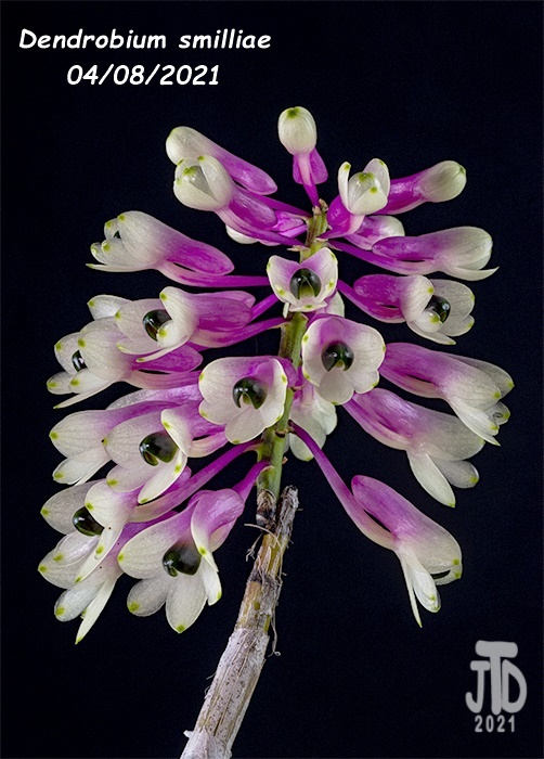 Name:  Dendrobium smilliae1 04082021.jpg