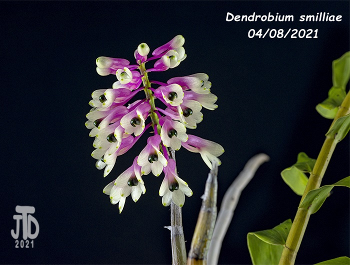 Name:  Dendrobium smilliae2 04082021.jpg