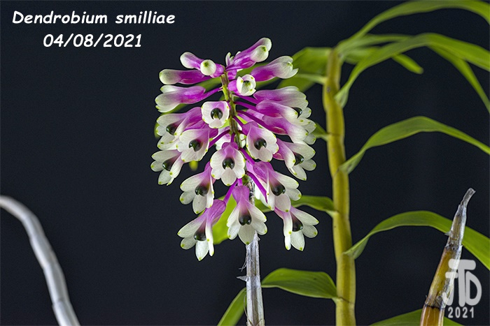 Name:  Dendrobium smilliae3 04082021.jpg