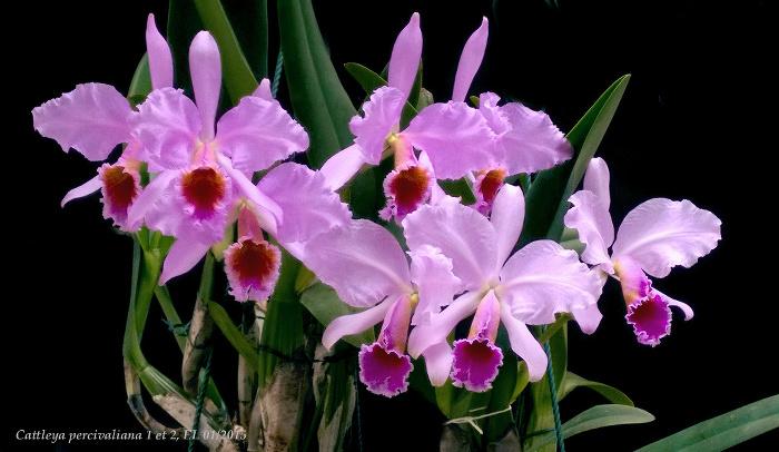 Name:  Cattleya percivaliana DM1 et 2 01_2015 2.jpg Views: 1449 Size:  177.1 KB