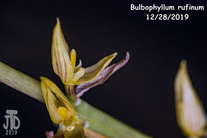 Name:  Bulbophyllum rufinum4 12282019.jpg Views: 49 Size:  109.6 KB
