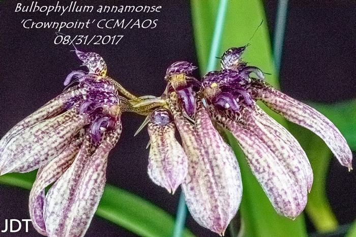 Name:  Bulbophyllum annamonse 'Crownpoint' CCM-AOS 100mm0817.jpg Views: 169 Size:  360.7 KB