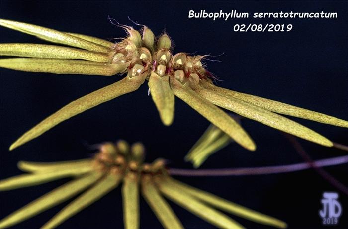 Name:  Bulbophyllum serratotruncatum5 02092019.jpg Views: 147 Size:  251.8 KB