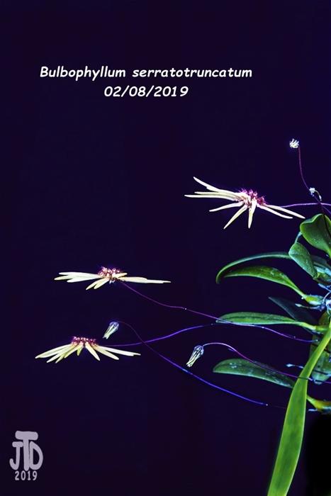 Name:  Bulbophyllum serratotruncatum2 02092019.jpg Views: 122 Size:  147.5 KB