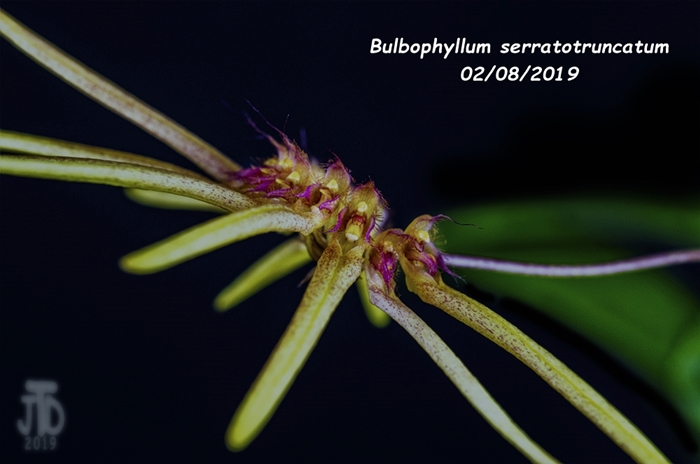 Name:  Bulbophyllum serratotruncatum4 02092019.jpg Views: 114 Size:  183.2 KB