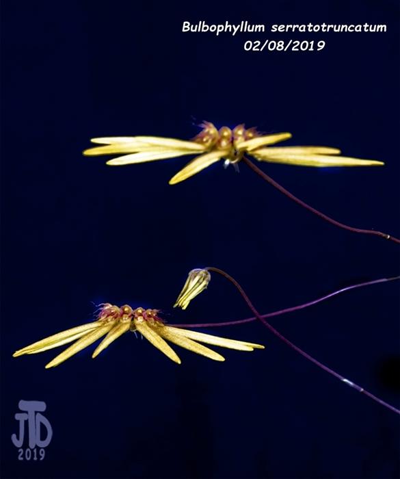 Name:  Bulbophyllum serratotruncatum3 02092019.jpg Views: 125 Size:  149.8 KB
