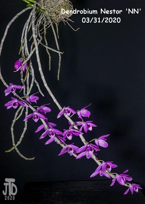 Name:  Dendrobium Nestor 'NN'1 03312020.jpg Views: 101 Size:  144.3 KB