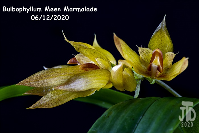 Name:  Bulbophyllum Meen Marmalade3 06122020.jpg Views: 72 Size:  128.0 KB