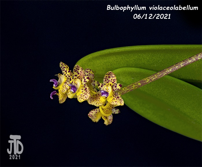 Name:  Bulbophyllum violaceolabellum4 06112021.jpg Views: 63 Size:  135.7 KB