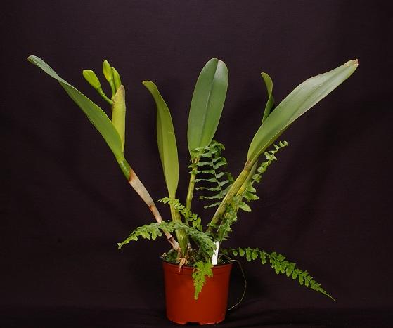 Name:  Brassolaeliocattleya Tainan Gold Canary 11.JPG Views: 769 Size:  129.5 KB