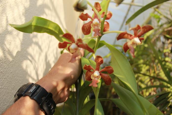 Name:  Vanda Mariane(Vanda denisoniana x tricolor)1.JPG Views: 286 Size:  185.1 KB