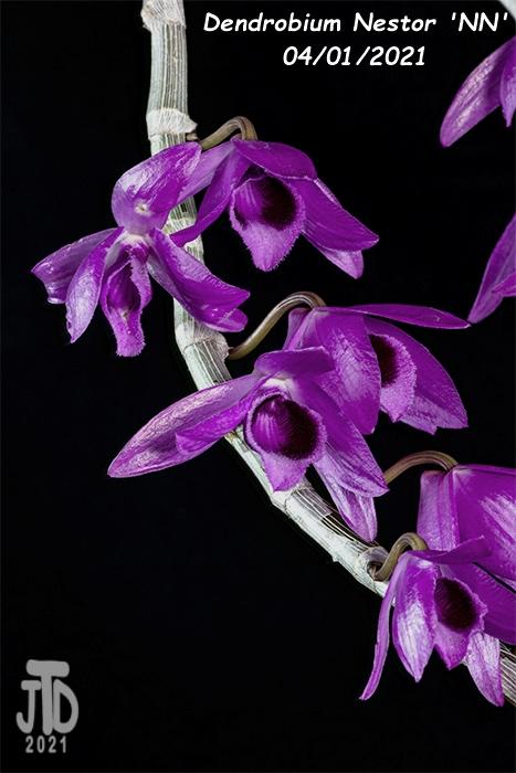 Name:  Dendrobium Nestor 'NN'5 03312021.jpg Views: 188 Size:  237.0 KB