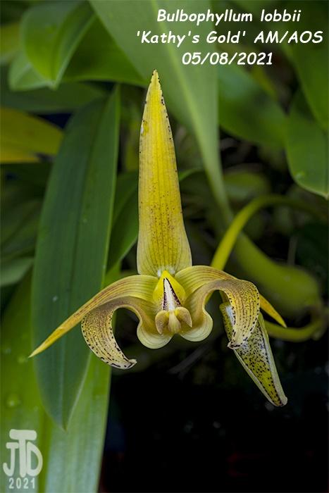 Name:  Bulbophyllum lobbii 'Kathy's Gold' AM-AOS3 05072021.jpg Views: 49 Size:  150.4 KB