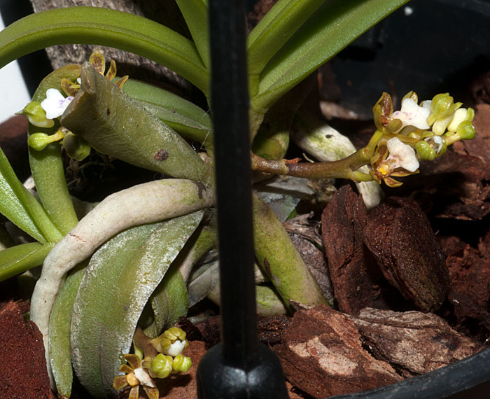 Name:  Trichog-triflora.-2.jpg Views: 331 Size:  108.1 KB