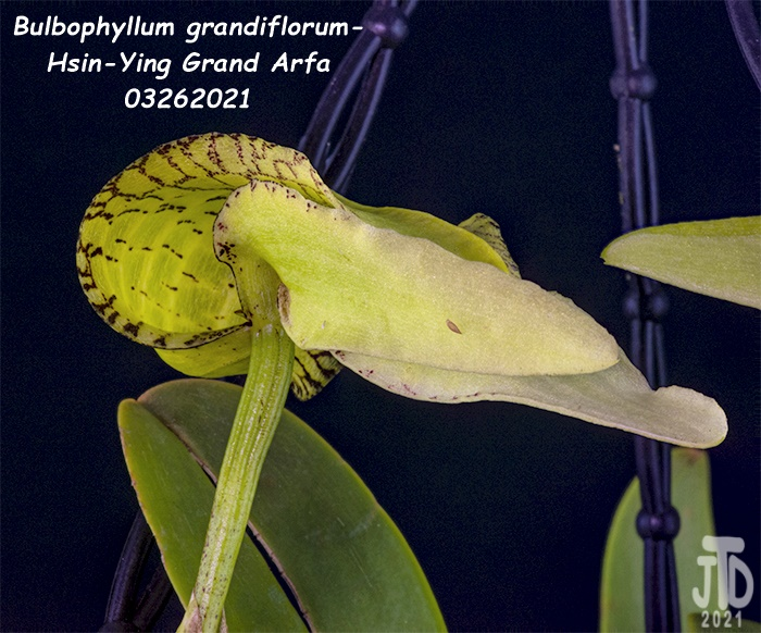 Name:  Bulbophyllum grandiflorum-Hsin-Ying Grand Arfa5 03262021.jpg Views: 52 Size:  184.0 KB