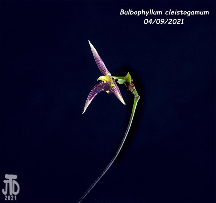 Name:  Bulbophyllum cleistogamum2 04092021.jpg Views: 55 Size:  114.0 KB