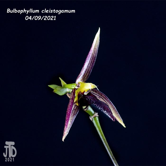 Name:  Bulbophyllum cleistogamum4 04092021.jpg Views: 55 Size:  108.4 KB