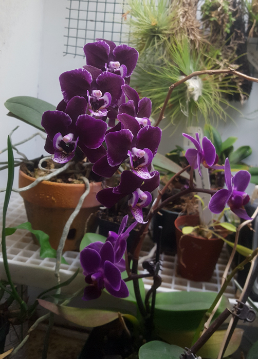 Name:  phal2.jpg