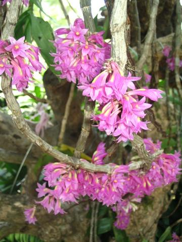 Name:  Dendrobium Goldschmidtianum2 (Small).jpg Views: 3926 Size:  46.4 KB