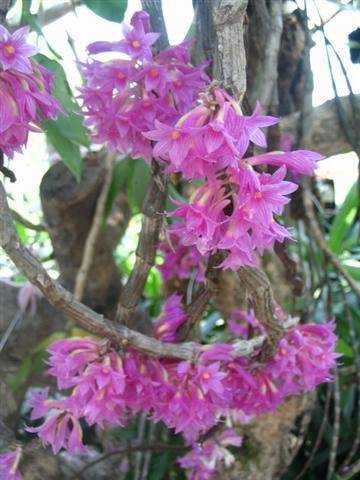 Name:  Dendrobium Goldschmidtianum3 (Small).jpg Views: 3313 Size:  43.2 KB