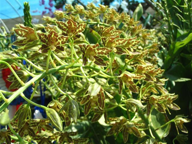Name:  Grammatophyllum Scriptum2 (Small).jpg Views: 3551 Size:  84.8 KB