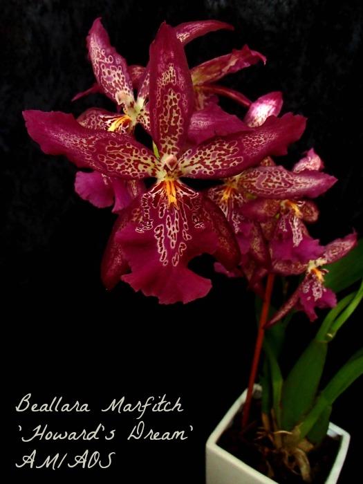 Name:  Beallara Marfitch resized 2.jpg Views: 1328 Size:  114.1 KB