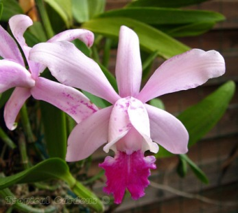 Name:  Cattleya intermedia roxo bispo.jpg Views: 774 Size:  44.4 KB
