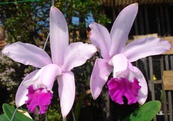 Name:  Cattleya intermedia tipo.JPG Views: 713 Size:  92.9 KB