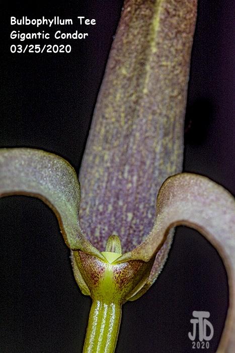 Name:  Bulbophyllum Tee Gigantic Condor4 03252020.jpg Views: 48 Size:  160.5 KB